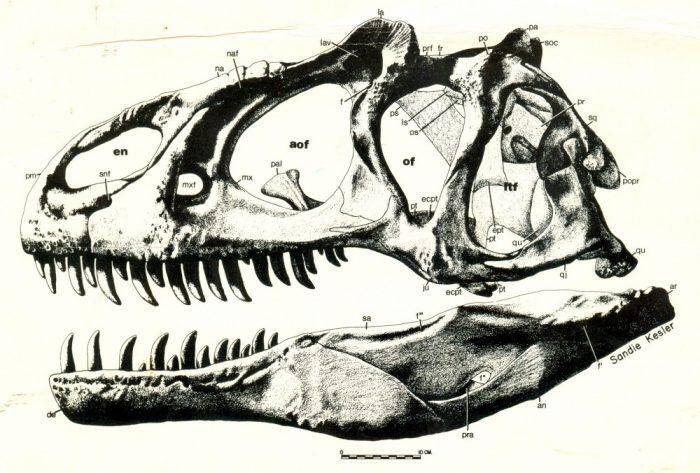 Allosaurus-skull-reconstruction