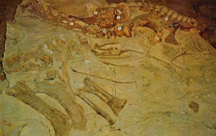 Camarasaurus-Barosaurus-bones