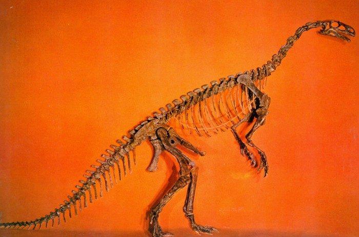 Plateosaurus-skeleton-postcard